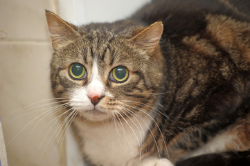 striped short-haired cat with large frightened eyes