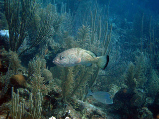 Red Hind Grouper Fish Underwater with Seaweed