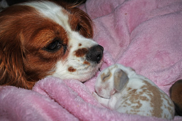 Dog and baby bunny new born rabbit kit. Cavalier king charles spaniel puppy and lop animals together. Cute.