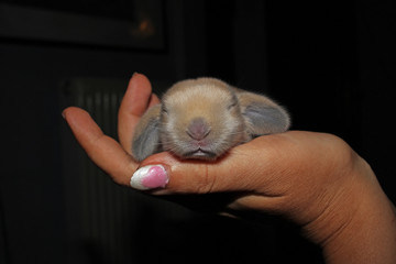New born baby lop rabbit kit animal pet. Cute bunny lop eared kits.
