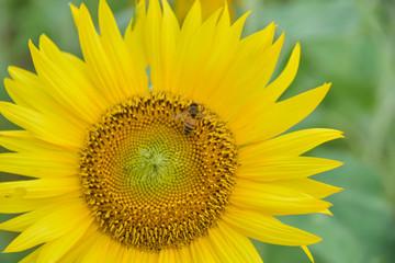 ひまわり花とミツバチ 一生懸命!働いてますよ~Himawari flowers and bees Hard I am working ~(熊本県益城町)