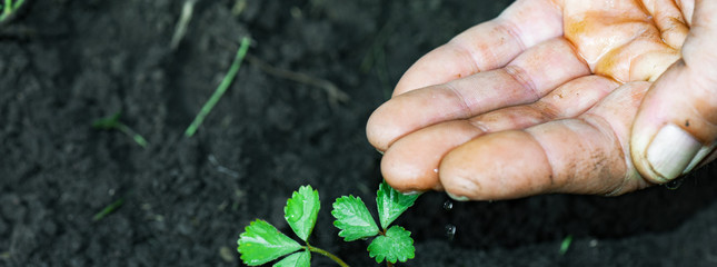 Panorama of man hand with water pours the plant. Strength of will to go through