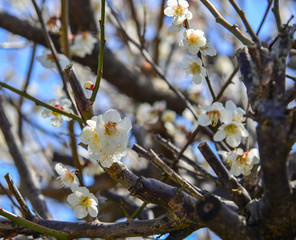 Cherry flowers blooming in spring time