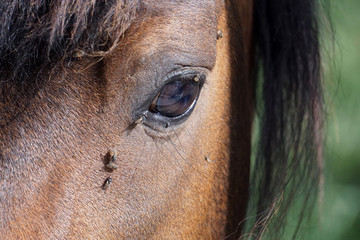 many flies fly on horse eye