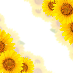 Fototapete - Frame of sunflowers on a white background. Background with copy space.