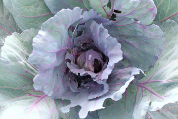 vegetable crop growing in the garden/ red cabbage with drops after rain view from above