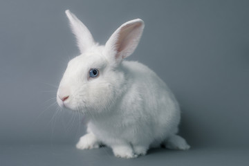Gorgeous white baby bunny rabbit with huge ears on a seamless gray background