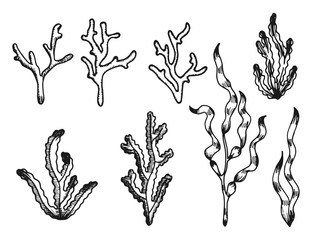 seaweed sketch vintage isolated on white background.