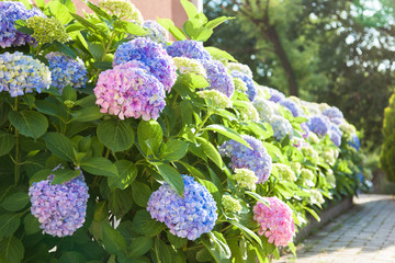 Fotomurales - Bushes of hydrangea is pink, blue, lilac, violet, purple. Flowers are blooming in spring and summer at sunset in town street garden outdoor.