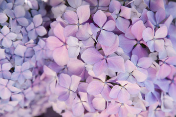 Fotomurales - Beautiful flowers background and pattern. Hydrangea bushes are blue, lilac, violet, pink. Flowers are blooming in spring and summer.
