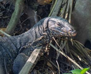 Giant lizard hiding in beneath a tree