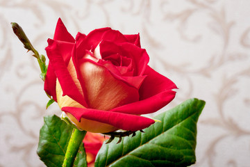 Red attractive rose in a room against wallpaper background_