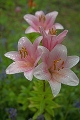 FLOWERS - pink lily after a rain