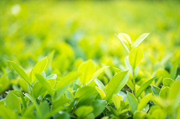 Close up green leaf in plantation
