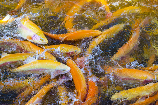 A lot of gold trout floating in a pond on a trout farm