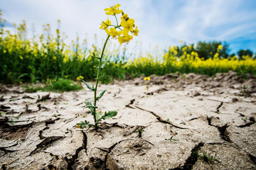Rape plant in dried cracked mud or soil ground