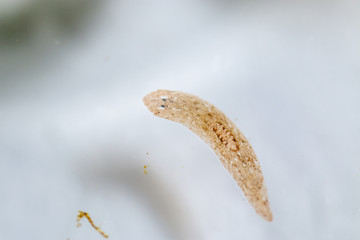 Planarian parasite (flatworm) under microscope view.