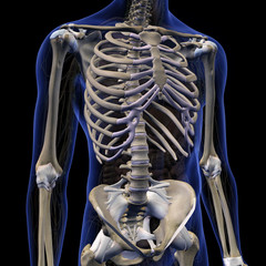 Skeletal System in Male Internal Anatomy of Chest and Abdomen