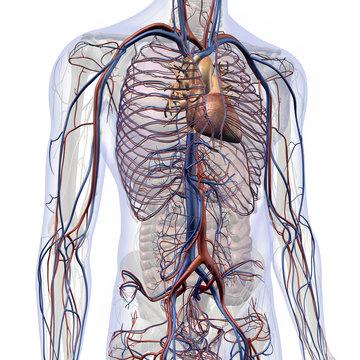 Male Internal Anatomy of Heart and Circulatory System