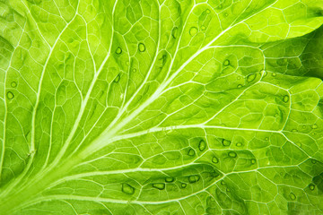 Lettuce leaf closeup. Natural green wallpaper.