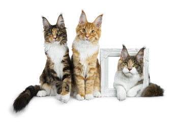 Row of three Maine Coon cat kittens, two sitting and third laying through a white photoframe, all looking straight in camera isolated on white background