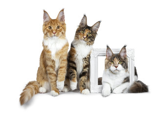 Row of three Maine Coon cat kittens, two sitting and third laying through a white picture frame, all looking straight in lens isolated on white background