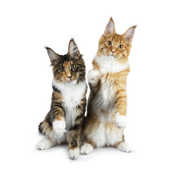 Two playing Maine Coon cat kittens sitting up, one on hind paws, the other one with one paw in air and sticking tongue out, both looking straight in camera isolated on white background