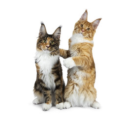 Two funny Maine Coon cat kittens sitting playful next to each other, one on hind paws hugging the other, isolated on white background and looking straight to camera