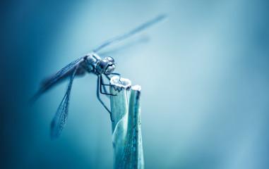 insecte libellule seul en gros plan sur fonds bleu