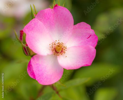 fleur rose simple rose et blanche sur fonds vert en été en gros plan ...