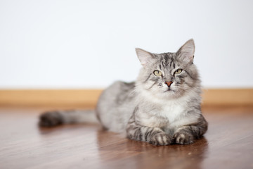 Grey furry cat lying on the floor