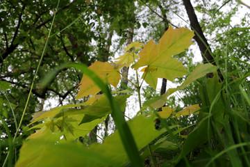 Plants Damansky island in Yaroslavl. Young oaks and maples