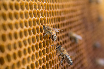 Honeycombs - hexagonal structure full of honey inside beehive with working bees.