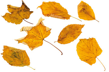 Autumn leaves, cut out (isolated) on white