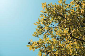 Detalle contrapicado de ramas de árboles en contraluz bajo un cielo azul intenso. Ramas con hojas verdes y fruto verde sin madurar.