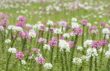 Spider flower field