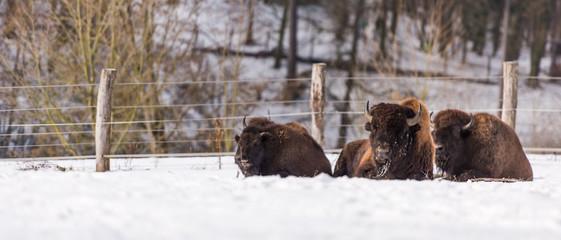 Fototapeta Bisonherde liegend im Schnee