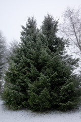 Group of frosty spruce trees in snow at finnish winter.