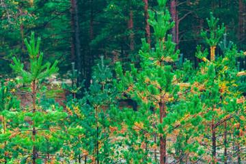 Pine forest green landscape