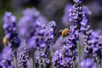 Honey bee gathering pollen in a field of lavender