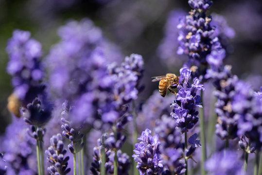 Honey bee gathering pollen in a field of lavender
