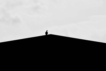 silhouette of alone pigeon on the roof
