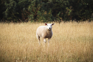 Sheep looking in long grass
