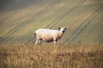 Sheep standing on grassy hill