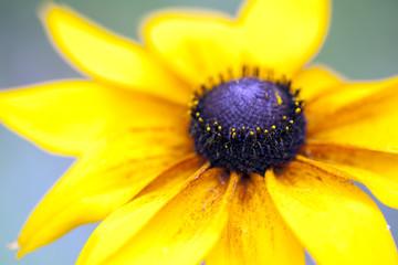 Obraz Jeżówka żółta - fototapety do salonu
