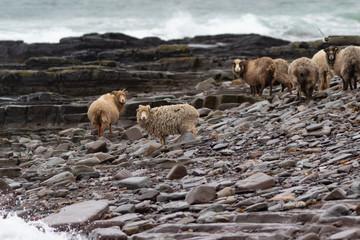 gang of sheep on the beach