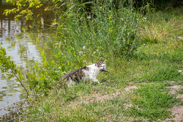 Bicolor white tabby cat fishing in a lake. Cat-fisher caught a small catfish