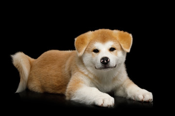 Cute Akita Inu Puppy Lying on Isolated Black Background, front view