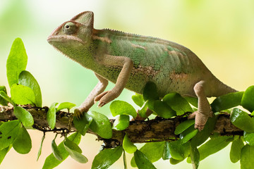 Veiled chameleon on a branch, Jakarta, Indonesia
