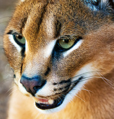 Portrait of a Caracal snarling, South Africa
